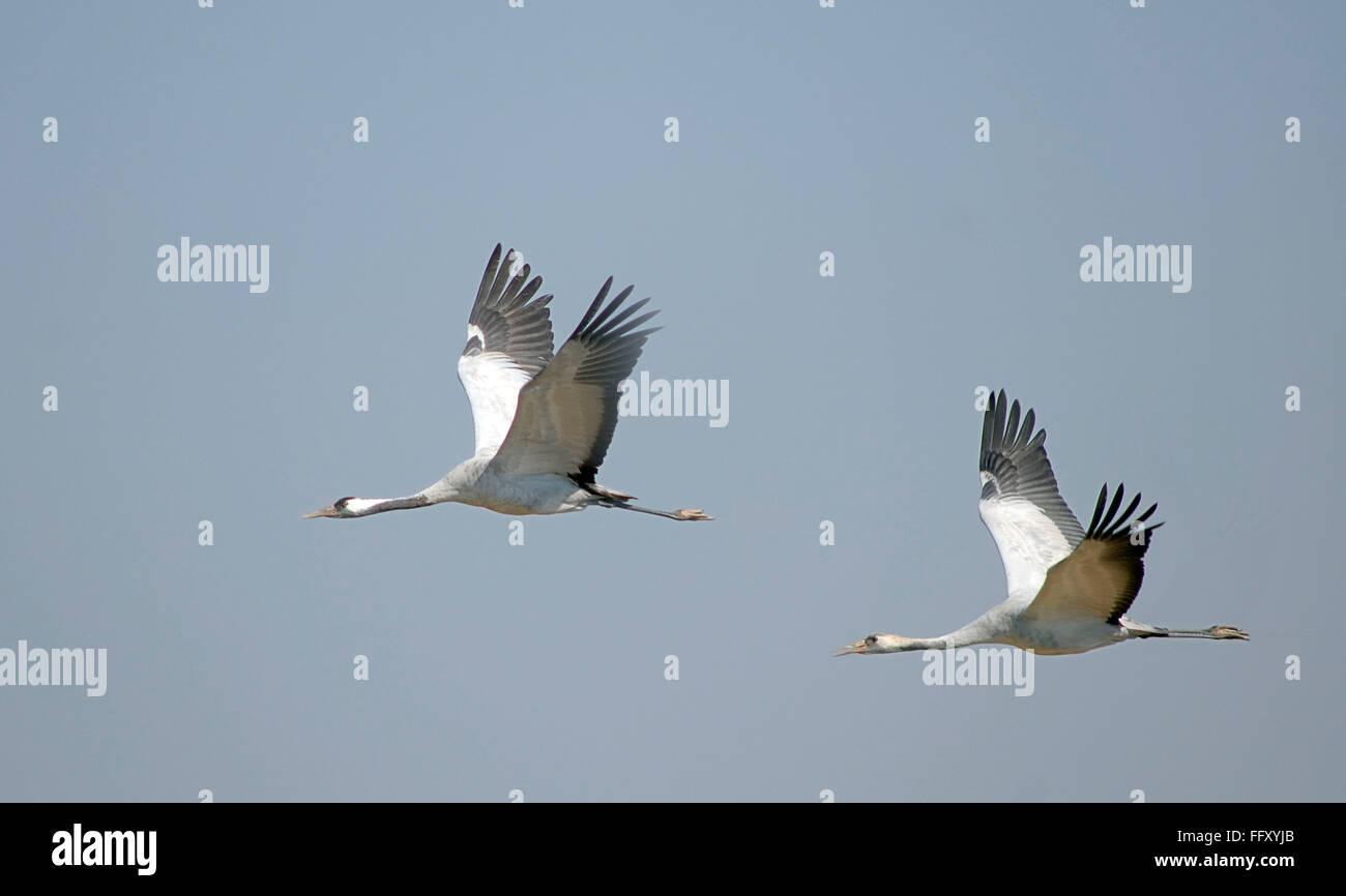 Grue Demoiselle , oiseaux Anthropoides virgo en vol Photo Stock