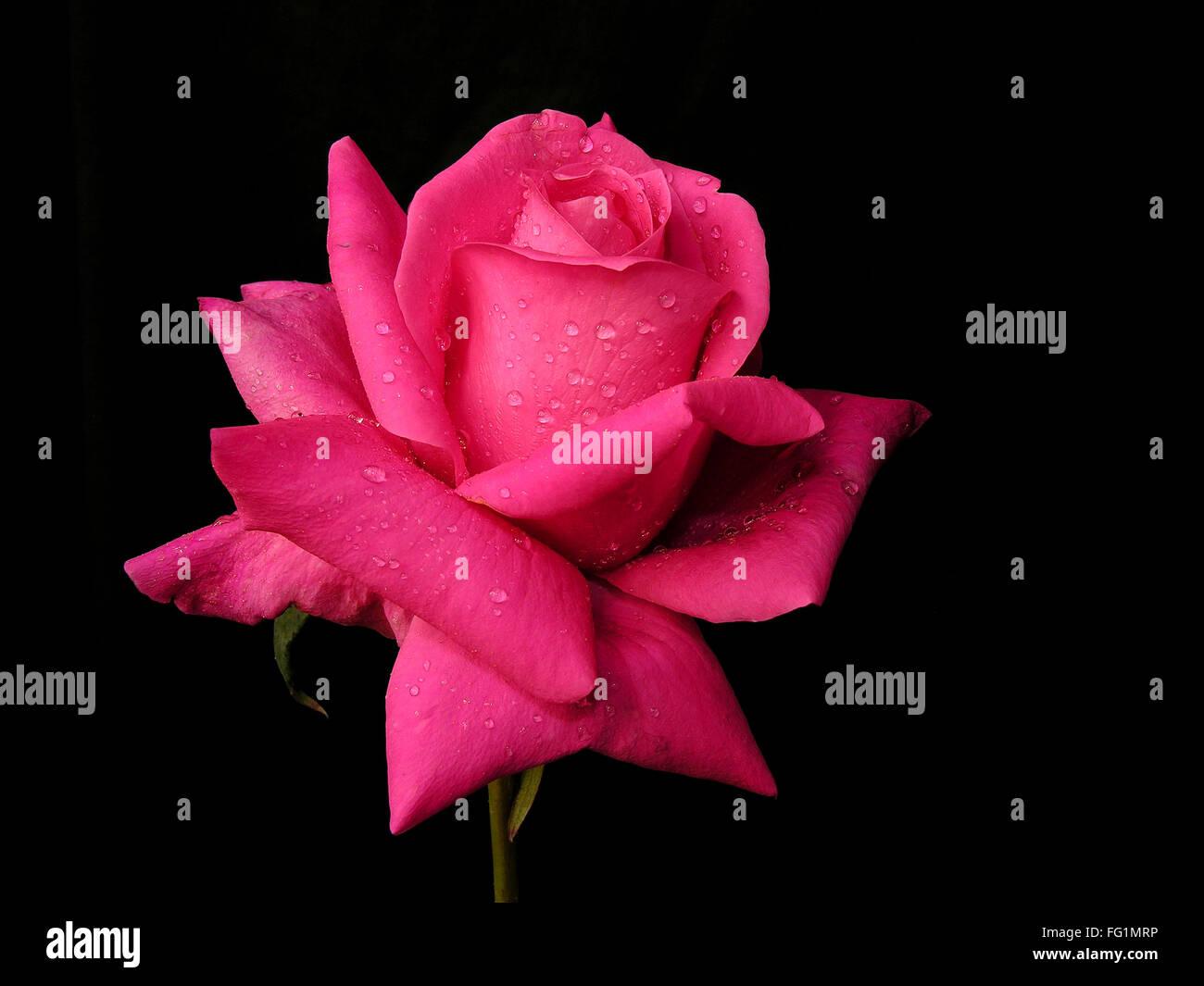 Goutte D Eau Sur Une Fleur Rose Rouge Sur Fond Noir Banque D Images