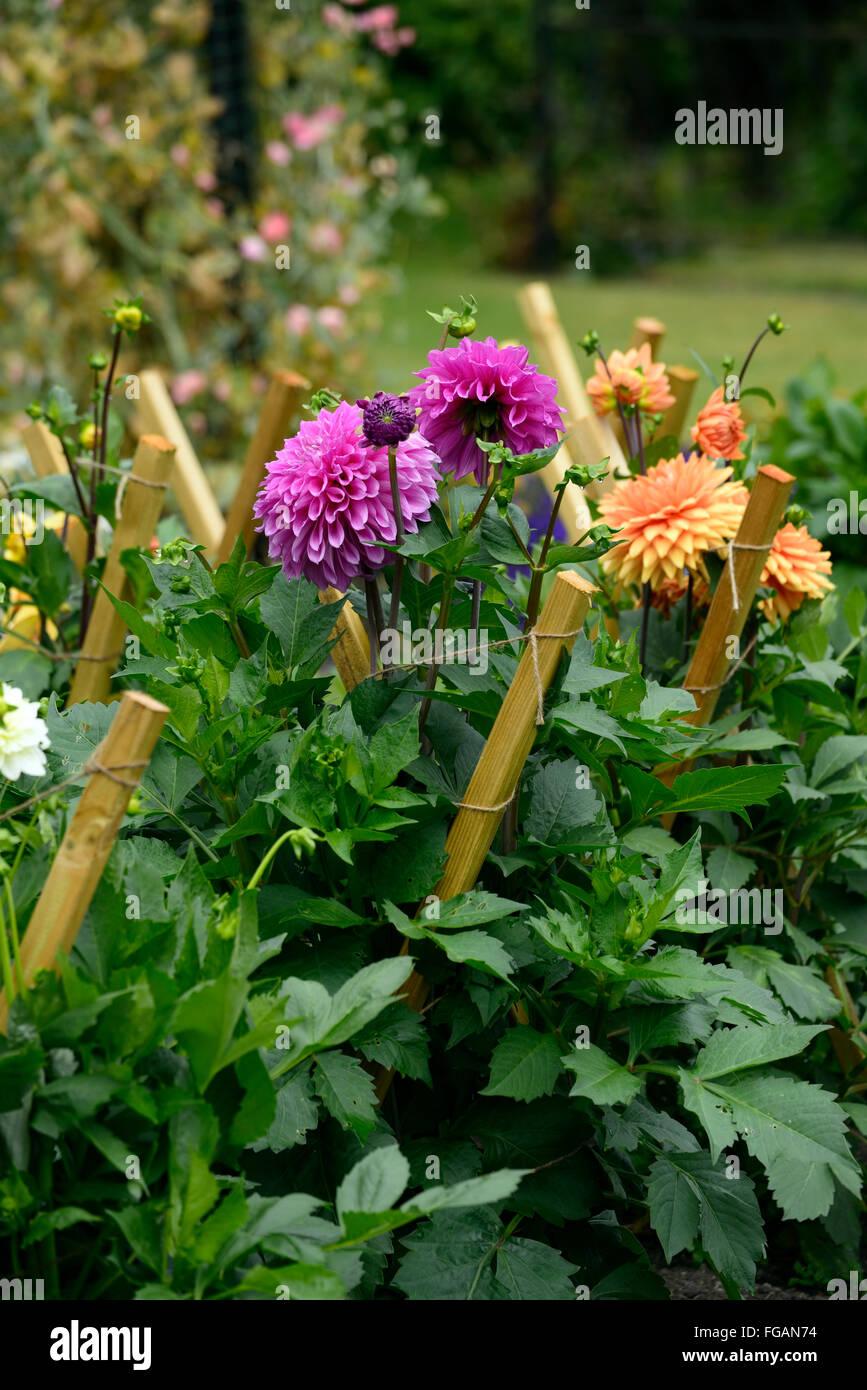Dahlia dahlia jeu jalonnés support bois fleurs fleur tubercule vivace plante tubéreuse Floral RM Photo Stock