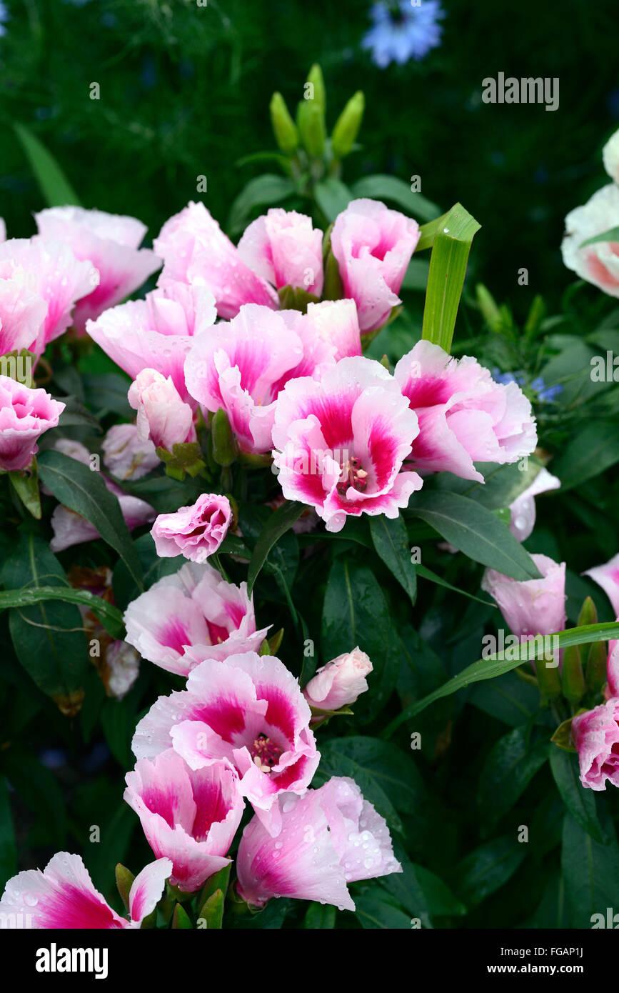Saumon nain Godetia graines Princesse Clarkia Amoena Annuelle Fleurs