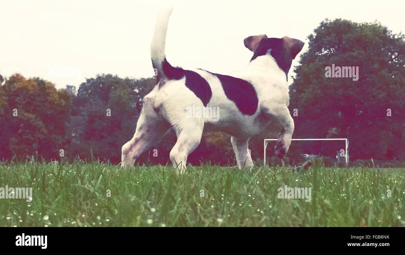 Vue arrière du chien qui court sur les herbages Photo Stock
