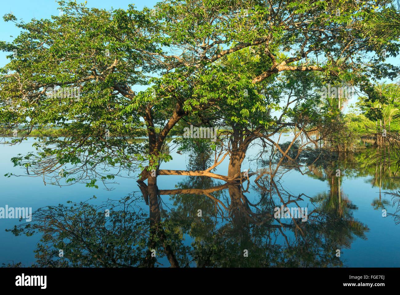 Forêt inondée, fleuve Amazone, Amazona, le Brésil de l'état Photo Stock