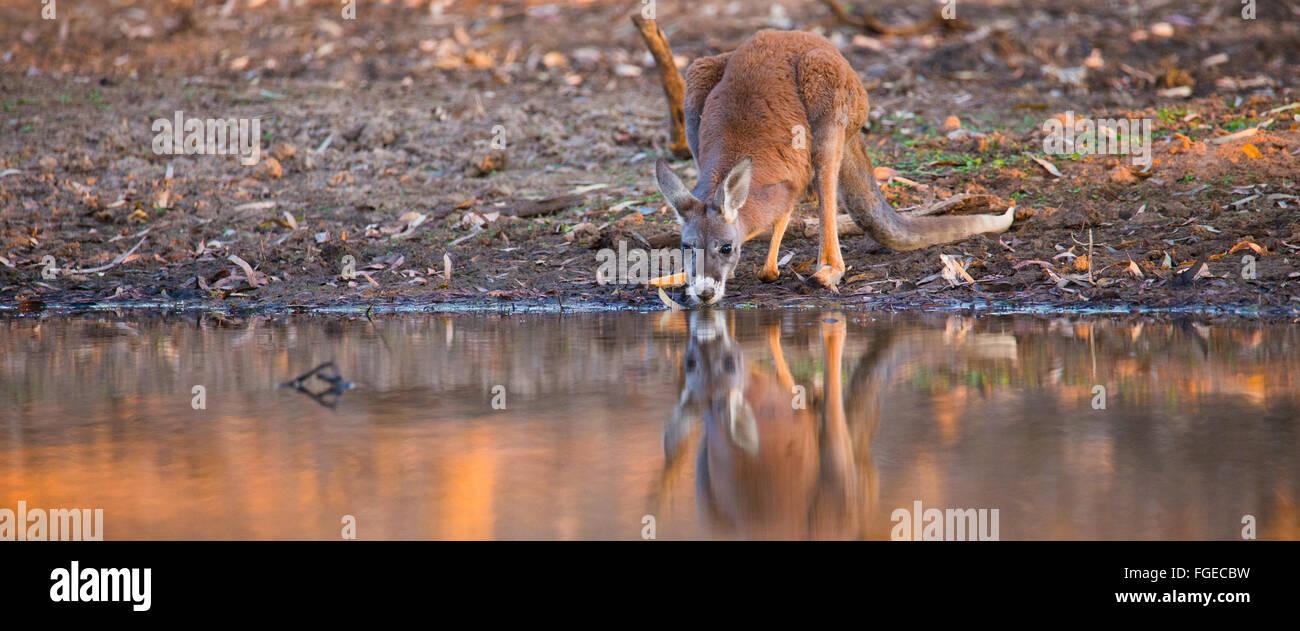 Jeune mâle, rouge kangourou (Macropus rufus) boire d'une billabong en à outback Queensland, Australie Photo Stock