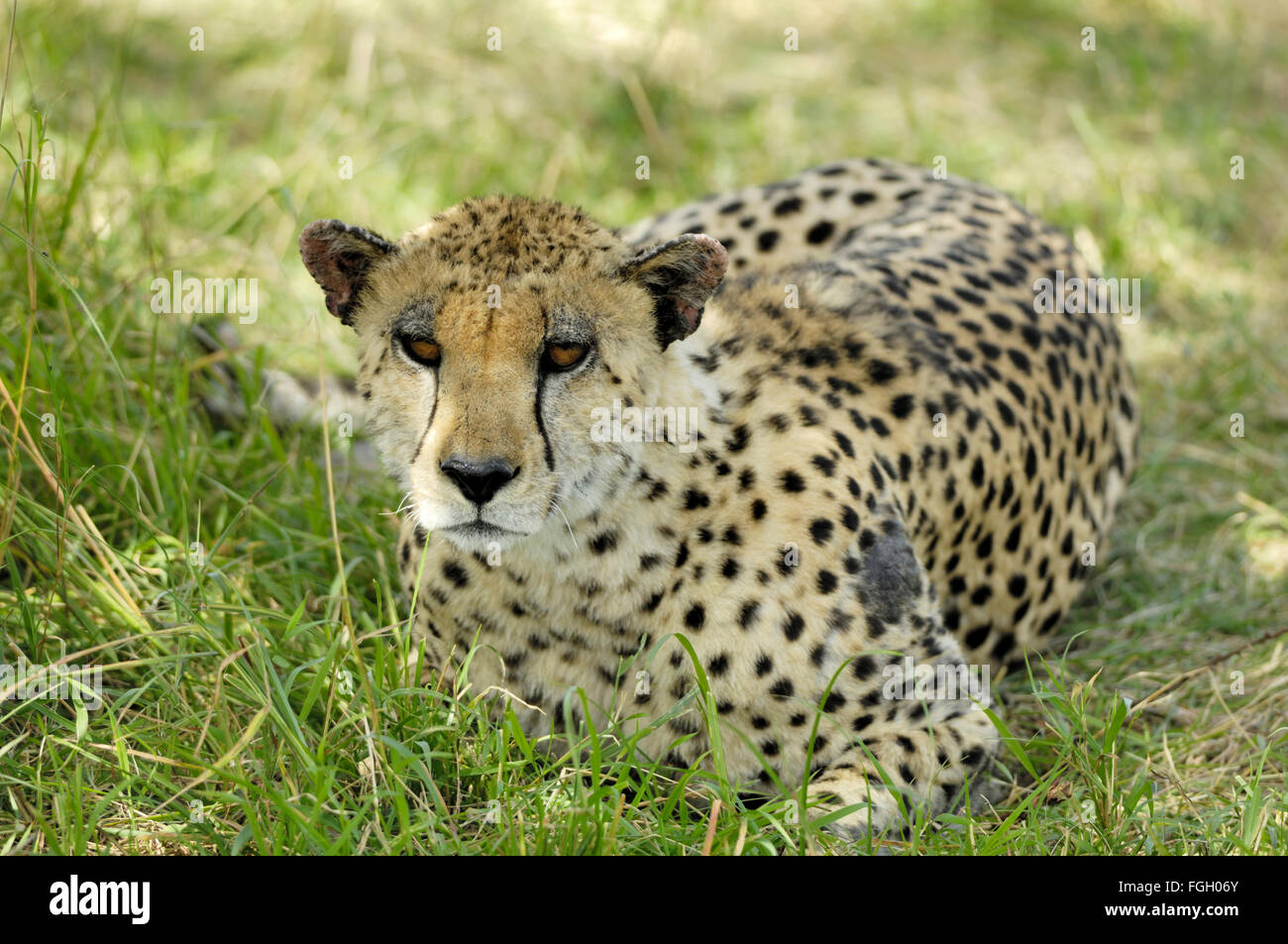 Dans le Serengeti Cheetah Photo Stock