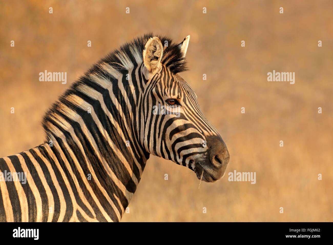 Portrait d'une plaine (Burchell) Zèbre (Equus burchelli), Afrique du Sud Photo Stock