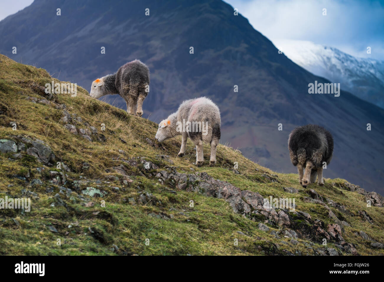Moutons Herdwick en haute fells, Cumbria Wastwater Lake District Photo Stock