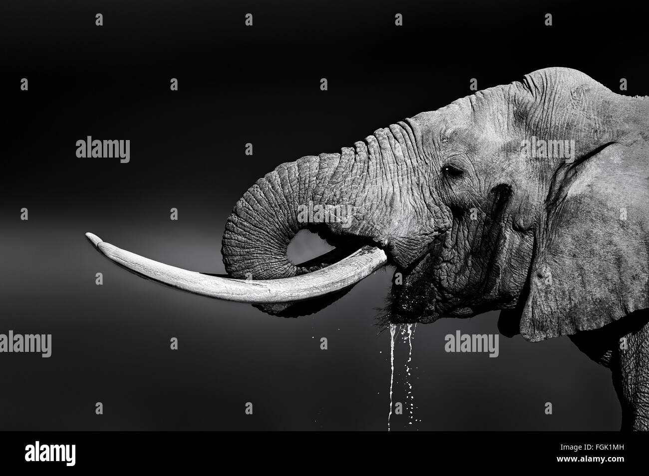 Elephant bull avec de grandes défenses de l'eau potable. Portrait en gros plan avec une vue dans le parc Photo Stock