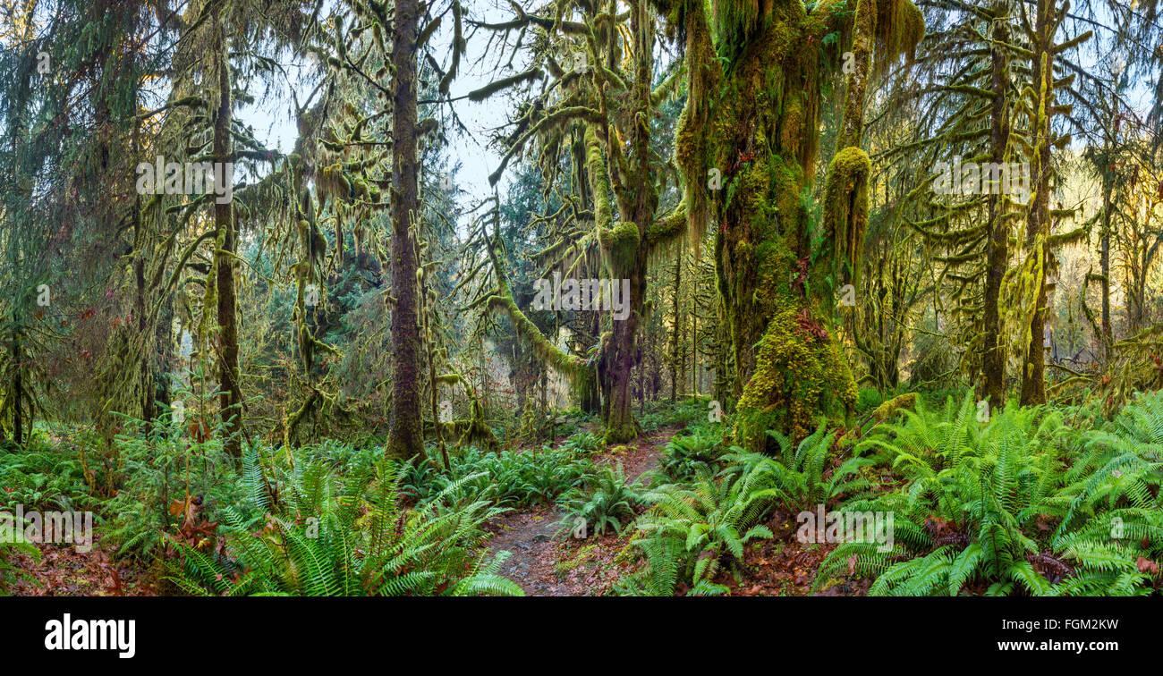 La forêt tropicale de Hoh Olympic National Park dans l'État de Washington. Banque D'Images