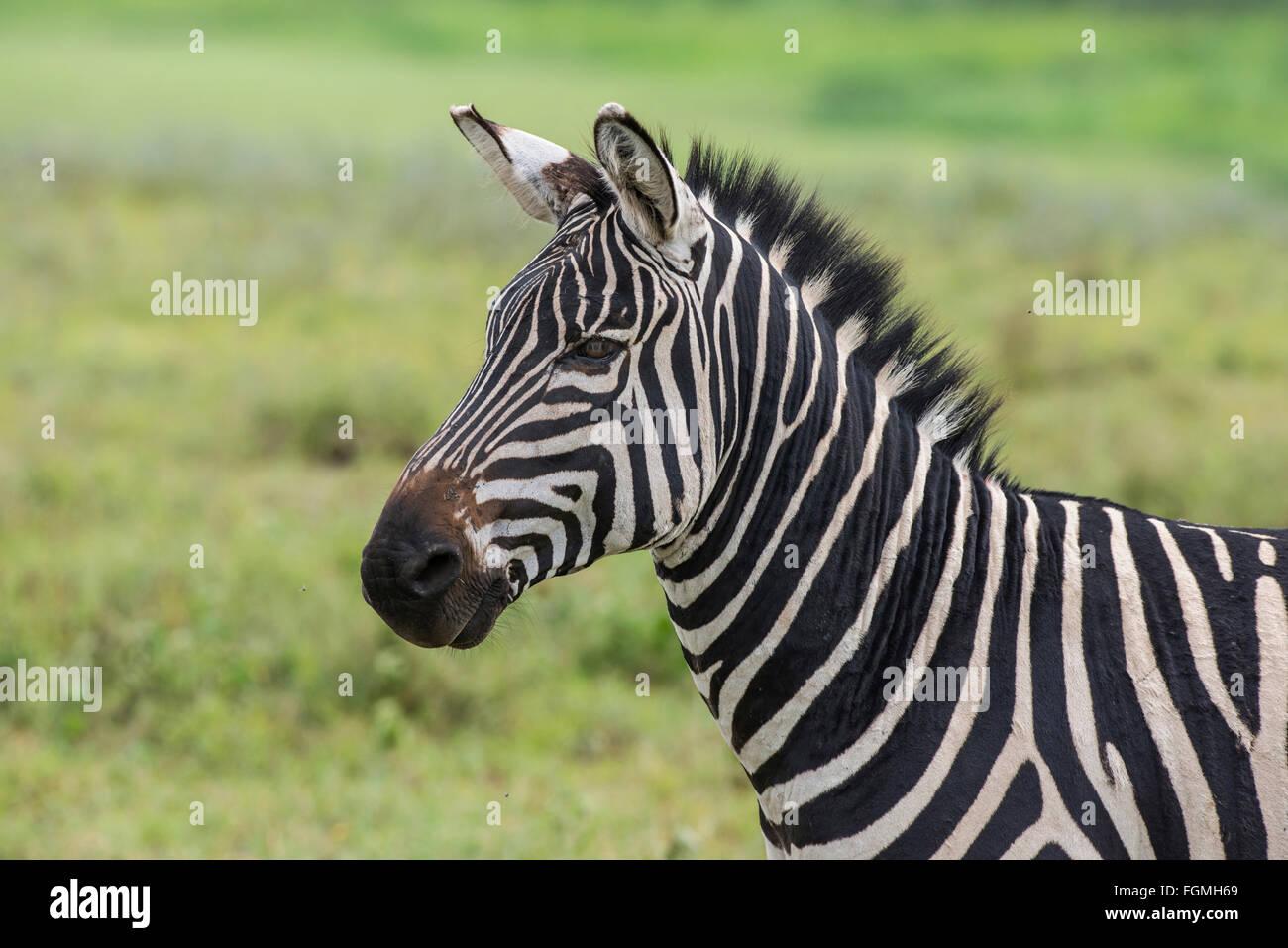 Chef de plaine ou le zèbre de Burchell (Equus quagga), le cratère du Ngorongoro, en Tanzanie. Photo Stock