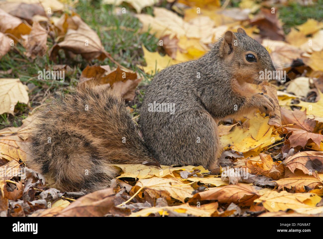 Fox est l'Écureuil roux (Sciurus niger) le sol de la forêt, manger des noix, des glands, Automne, Photo Stock