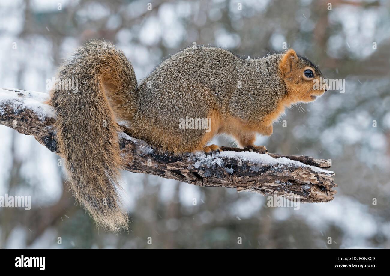 Fox est l'Écureuil roux (Sciurus niger) le membre de l'arbre, hiver, Est des États-Unis Photo Stock