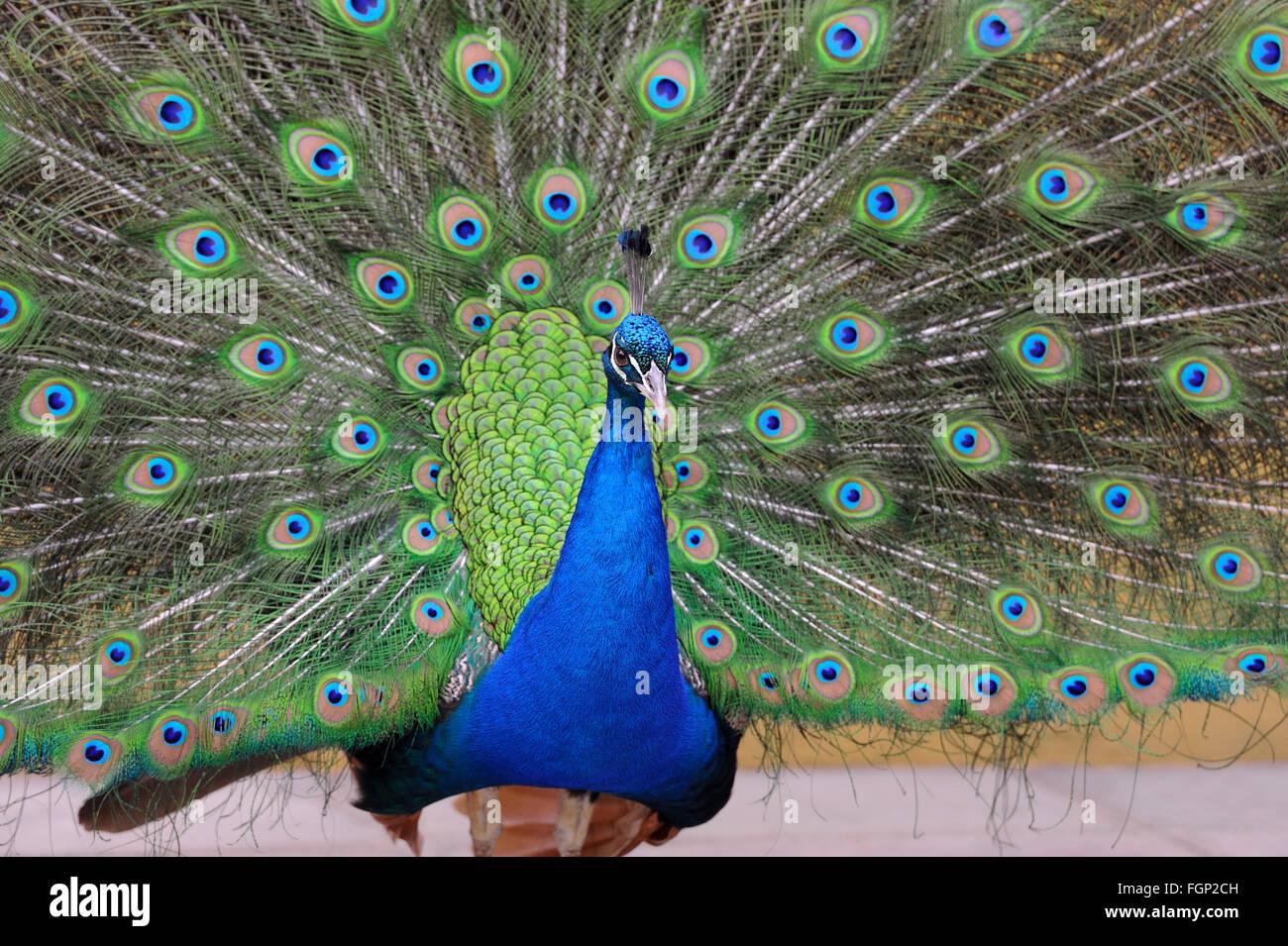 Portrait de belle avec des plumes à pavo Photo Stock