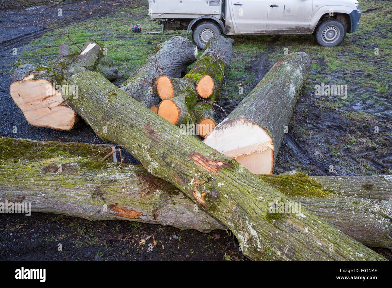 La coupe d'un arbre, d'un abattage le long d'une route, Baum, saurait Baumstamm, tronc d'arbre Banque D'Images