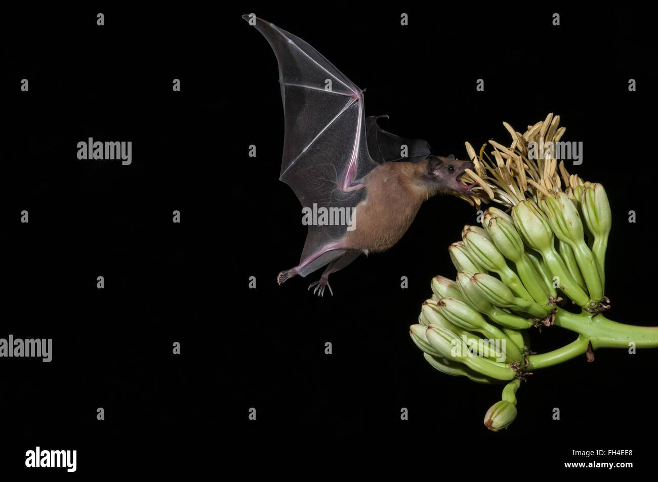 Bec long moindre bat Leptonycteris curasoae yerbabuenae, (), se nourrissant de fleurs d'agave, Green Valley, Arizona, USA Banque D'Images
