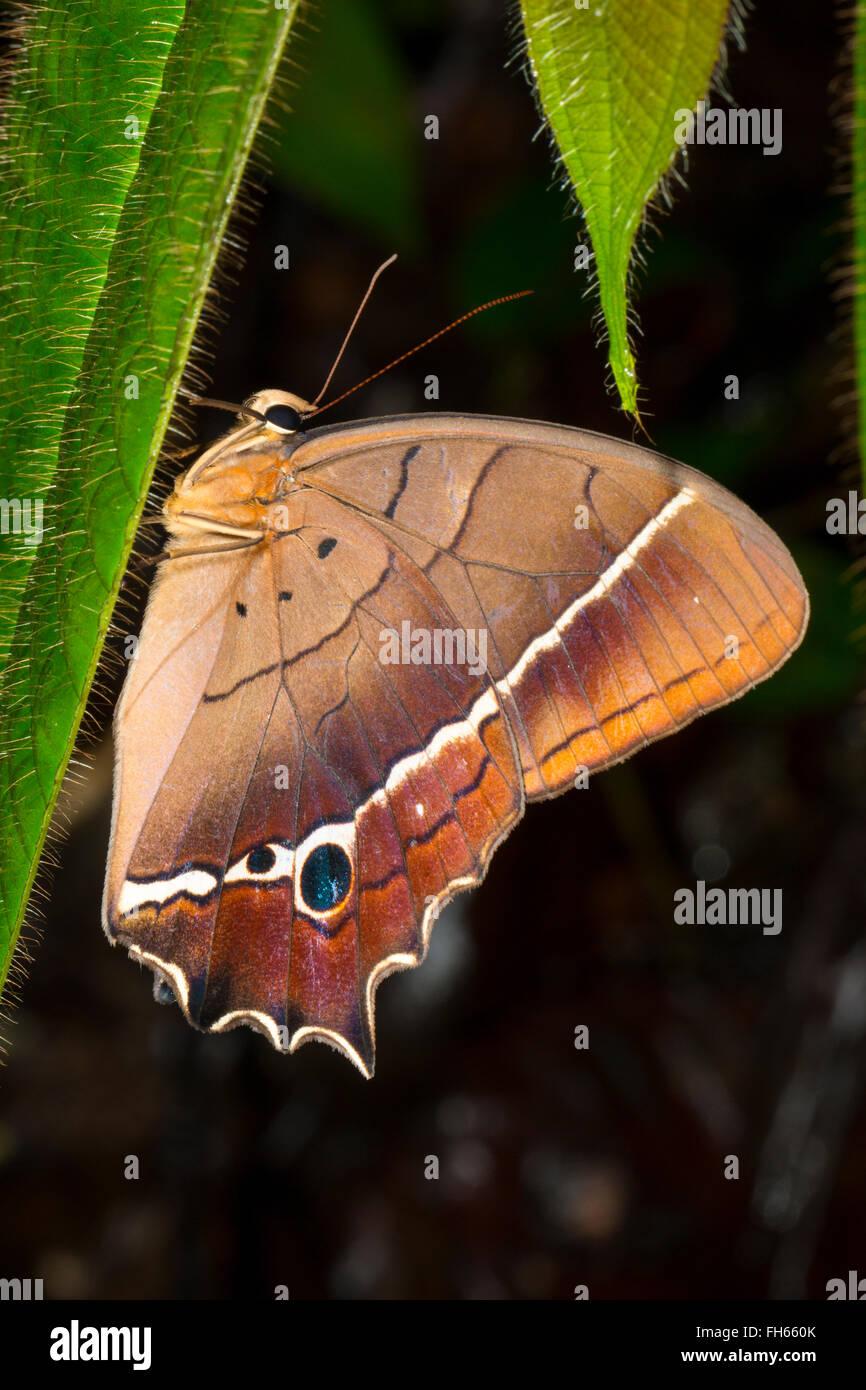 Papillon, Antirrhea sp., de la famille des Riodinidae et dans la forêt tropicale, province de Pastaza, Equateur Photo Stock
