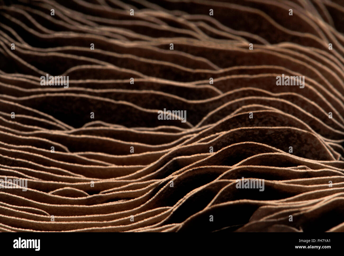 Face inférieure du champignon grand champ montrant branchies - abstract pattern Banque D'Images