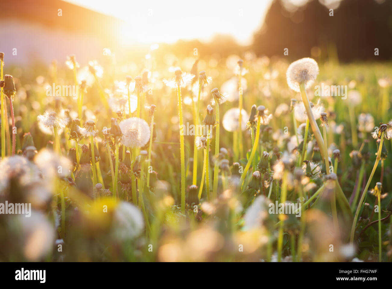 Eté vert prairie avec pissenlits au coucher du soleil. Nature fond Photo Stock