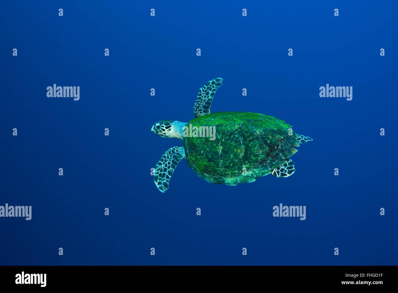 La tortue imbriquée, Eretmochelys imbricata, Mer Rouge, Egypte, Ras Mohammed Banque D'Images