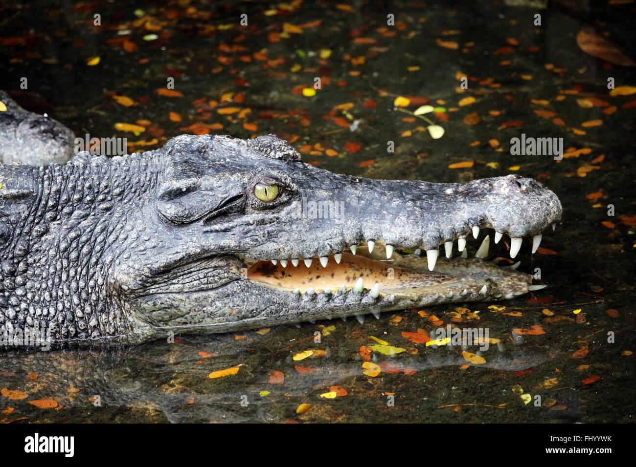 MIRI/Malaisie - 24 NOVEMBRE 2015: un crocodile avec les grandes dents à Bornéo à côté Photo Stock