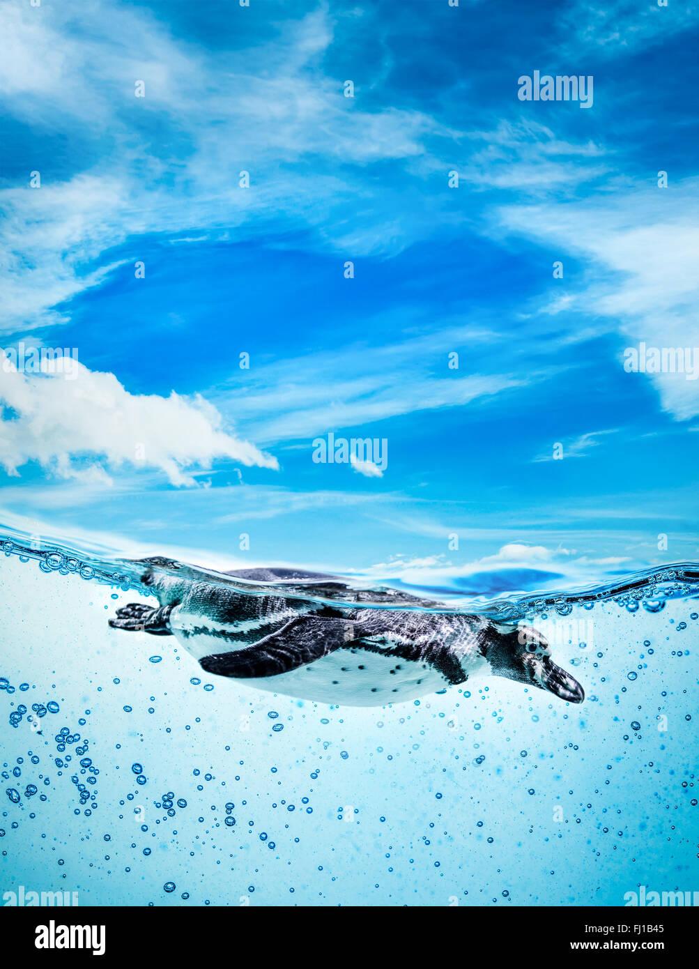 Manchot de Humboldt (Spheniscus humboldti) appelé aussi Pingouin péruvien, ou Patranca, natation dans Photo Stock