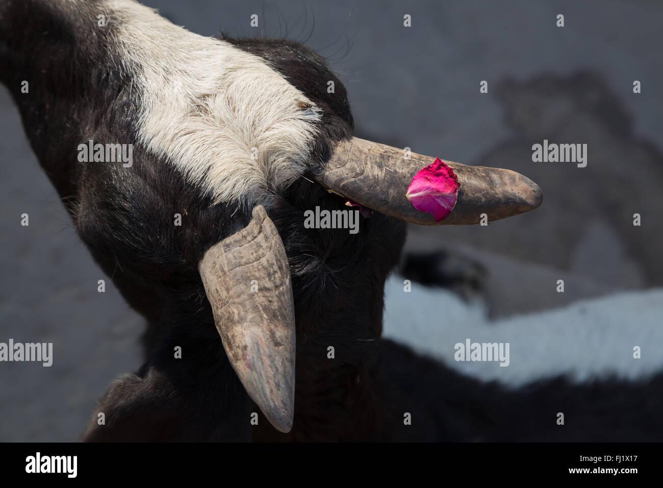 Rose pétale de rose sur la corne d'une chèvre à Varanasi , Inde Photo Stock