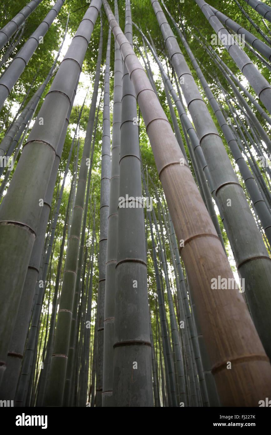 Forêt de bambous Sagano est situé dans le quartier d'Arashiyama, une banlieue à l'ouest de Photo Stock