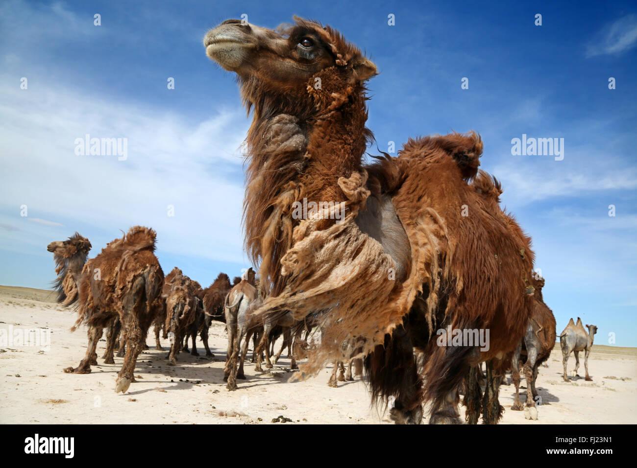 Les chameaux sauvages de la Mongolie Photo Stock