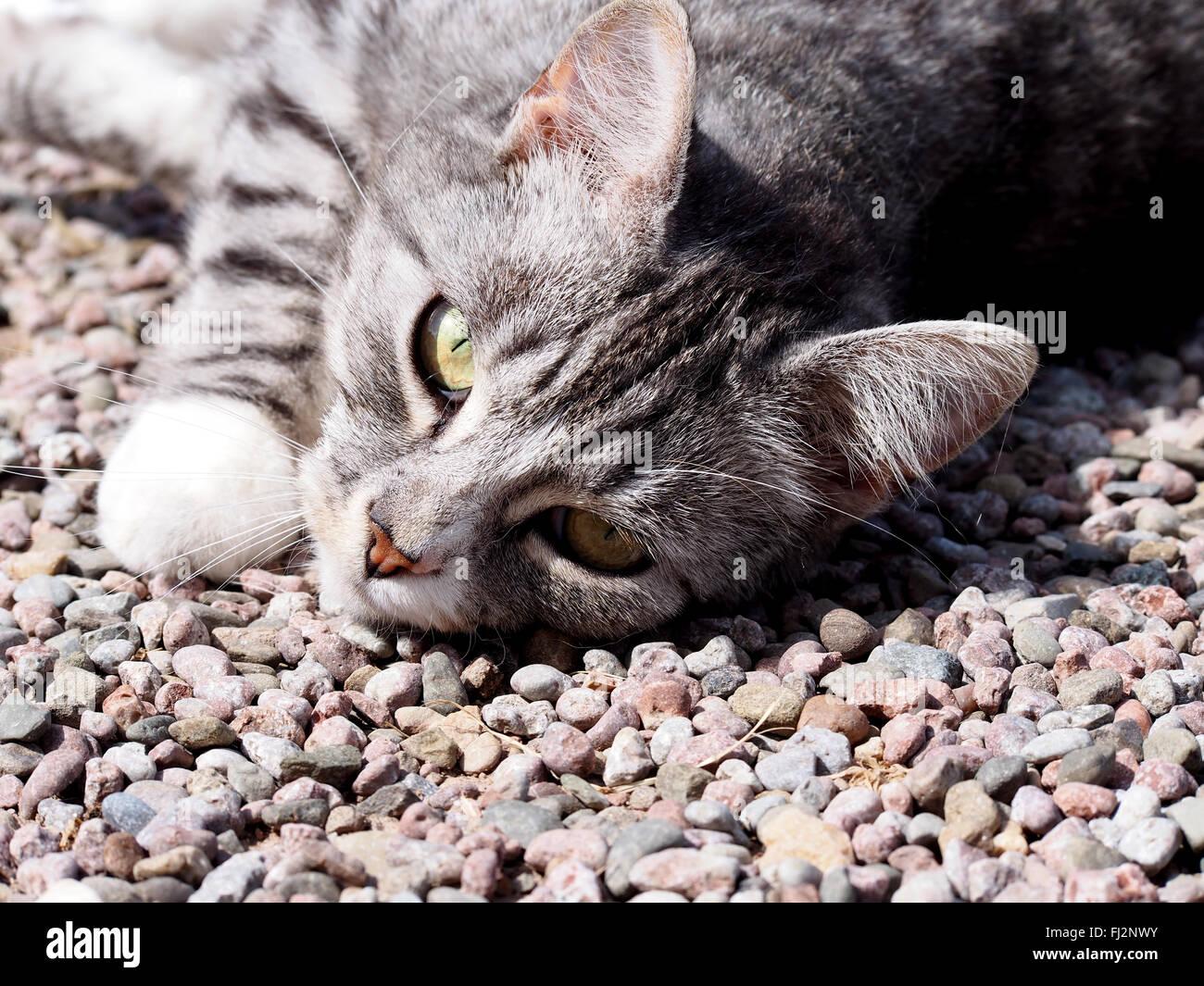 Chat gris couché sur cailloux gris Photo Stock