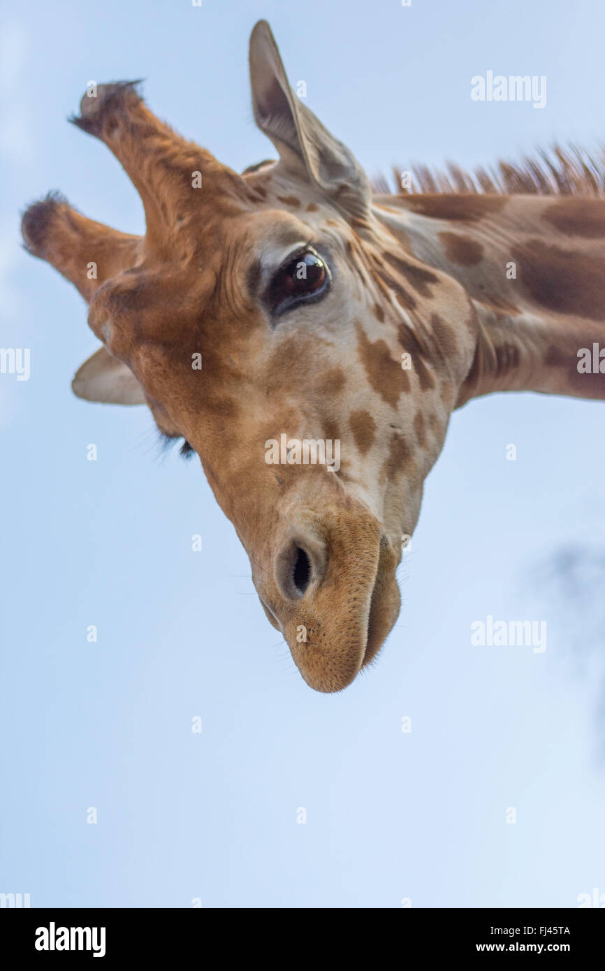 Girafe, regardant vers le bas Photo Stock