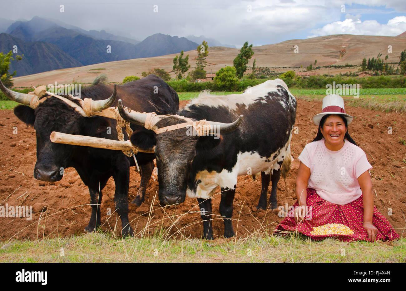 Femme en costume traditionnel avec deux stots à des travaux sur le terrain, le Pérou, Chinchero Photo Stock