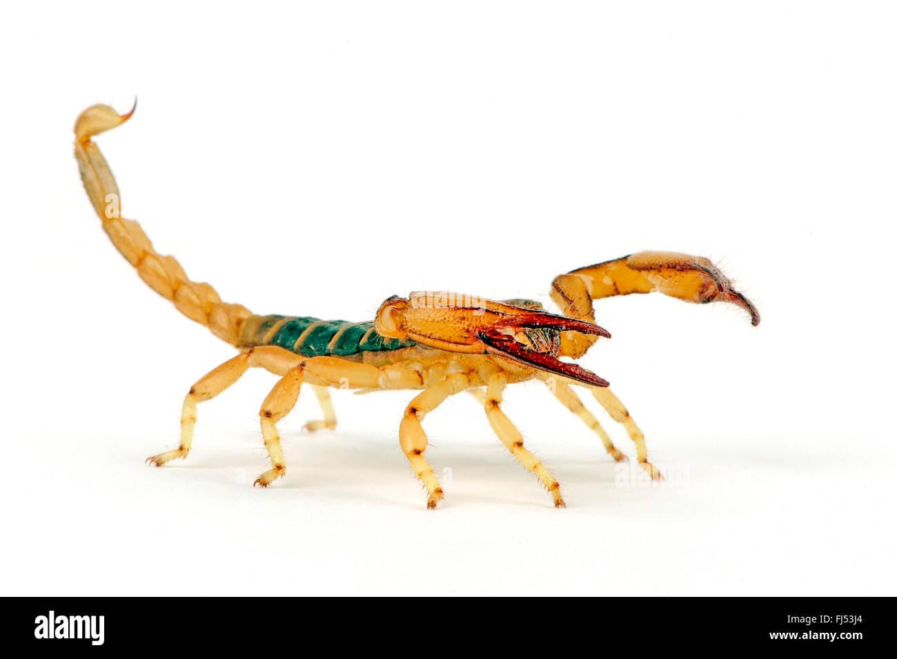 Scorpion fouisseur robuste, Carinated scorpion, écorce jaune africains-jambe (scorpion Opistophthalmus carinatus), Photo Stock
