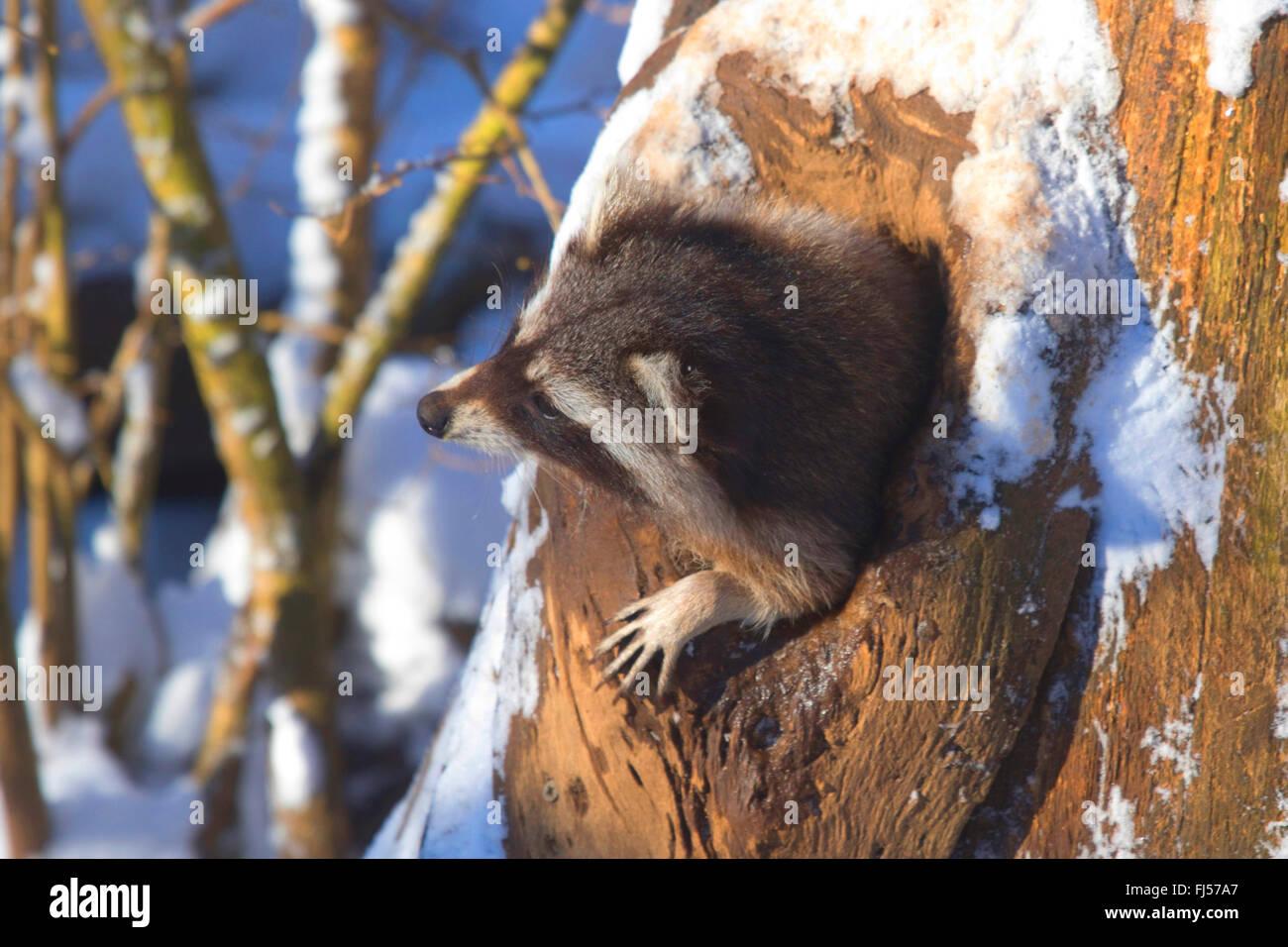 Politique raton laveur (Procyon lotor), à la recherche d'un trou d'arbre en hiver, Allemagne, Rhénanie Photo Stock
