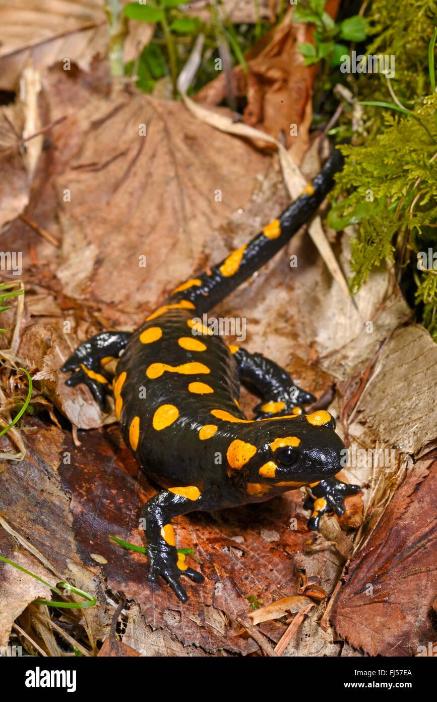 Salamandre terrestre européen (Salamandra salamandra), sur le feuillage, Roumanie, Karpaten Photo Stock