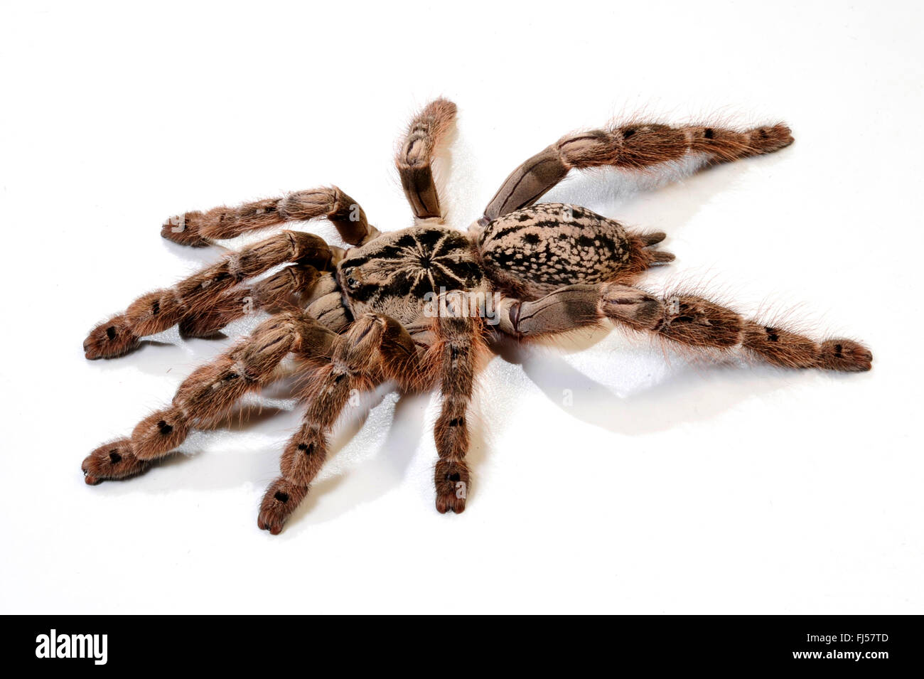 Le Togo, un ornement babouin Starburst Tarantula (Heteroscodra maculata), cut-out Photo Stock