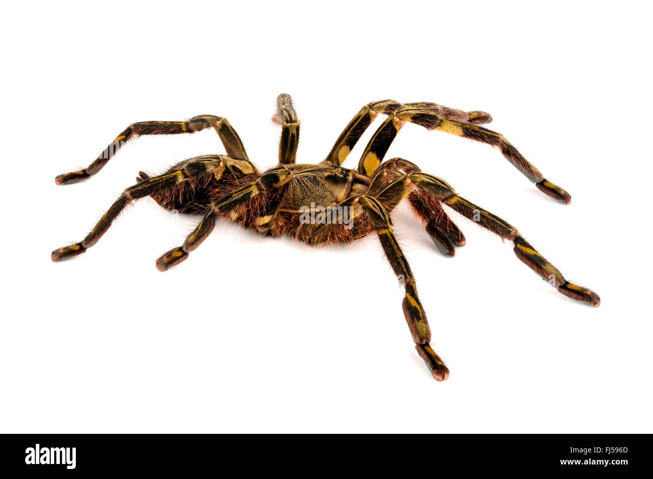 Redslate tarantula ornementales (Poecilotheria rufilata), cut-out, Inde Photo Stock