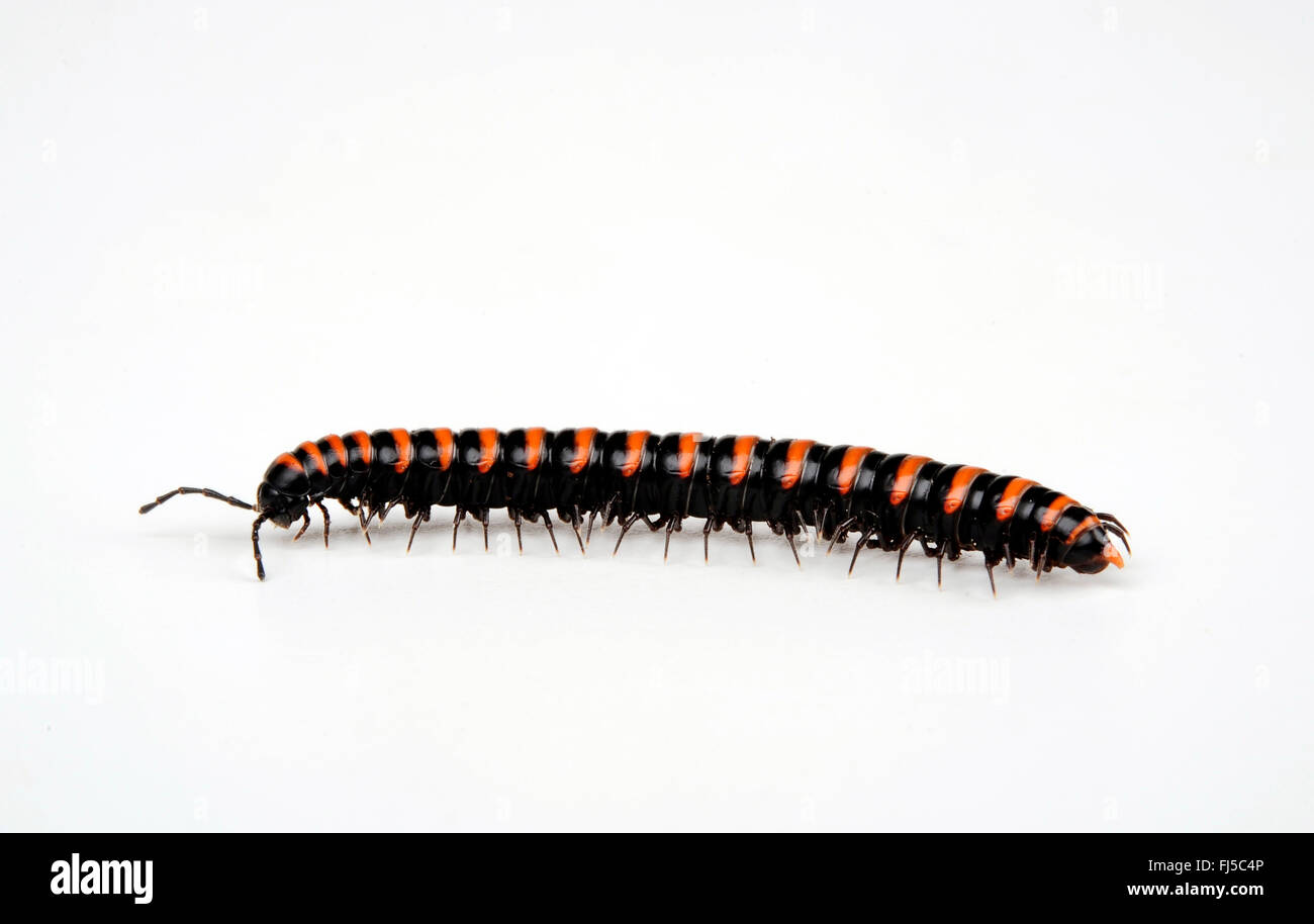 Diplopods myriapodians Polydesmida, (cut-out), Photo Stock