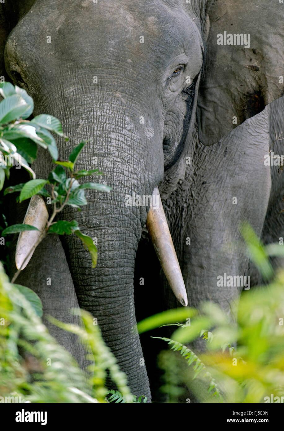 Bornes d'Éléphants nains borneensis (Elephas maximus), portrait, Malaisie, Bornéo, Sabah, rivière Photo Stock