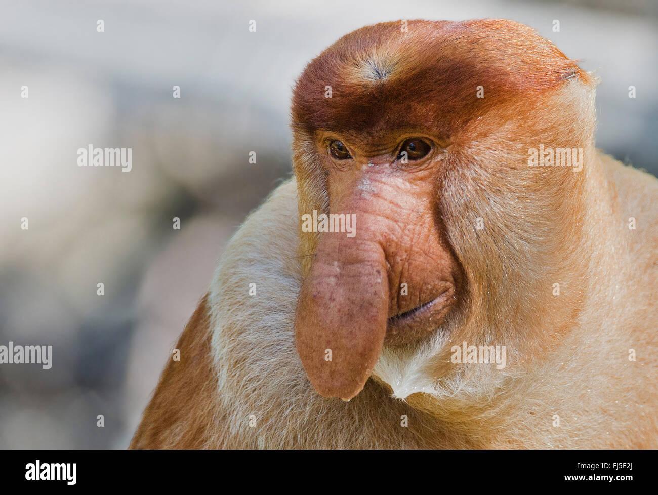 Proboscis Monkey (Nasalis larvatus), mâle adulte, Malaisie, Bornéo, Sabah, Labuk Bay Photo Stock