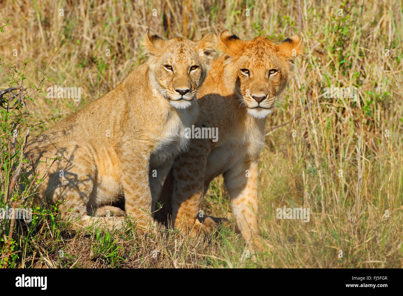 Lion (Panthera leo), deux oursons, Kenya, Masai Mara National Park Photo Stock