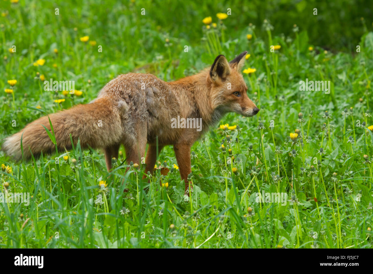 Le renard roux (Vulpes vulpes), dans un pré de fleurs de pissenlit, Suède Banque D'Images