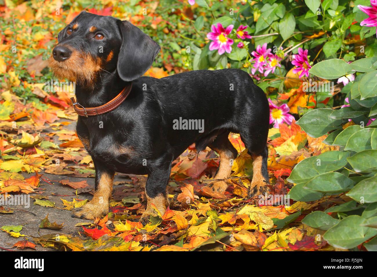 Teckel à poil dur, chien saucisse à poil dur, chien domestique (Canis lupus f. familiaris), noir et feu Photo Stock