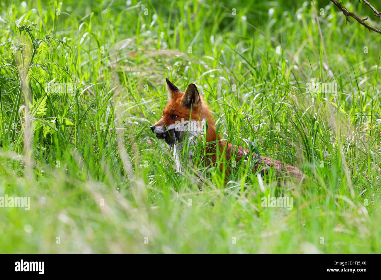 Le renard roux (Vulpes vulpes), parent avec la souris capturées, Allemagne Photo Stock