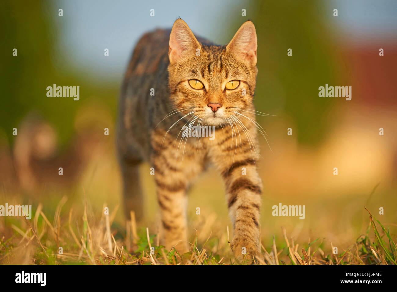 Chat domestique, le chat domestique (Felis silvestris catus). f, marcher dans un pré, vue avant, Allemagne Banque D'Images