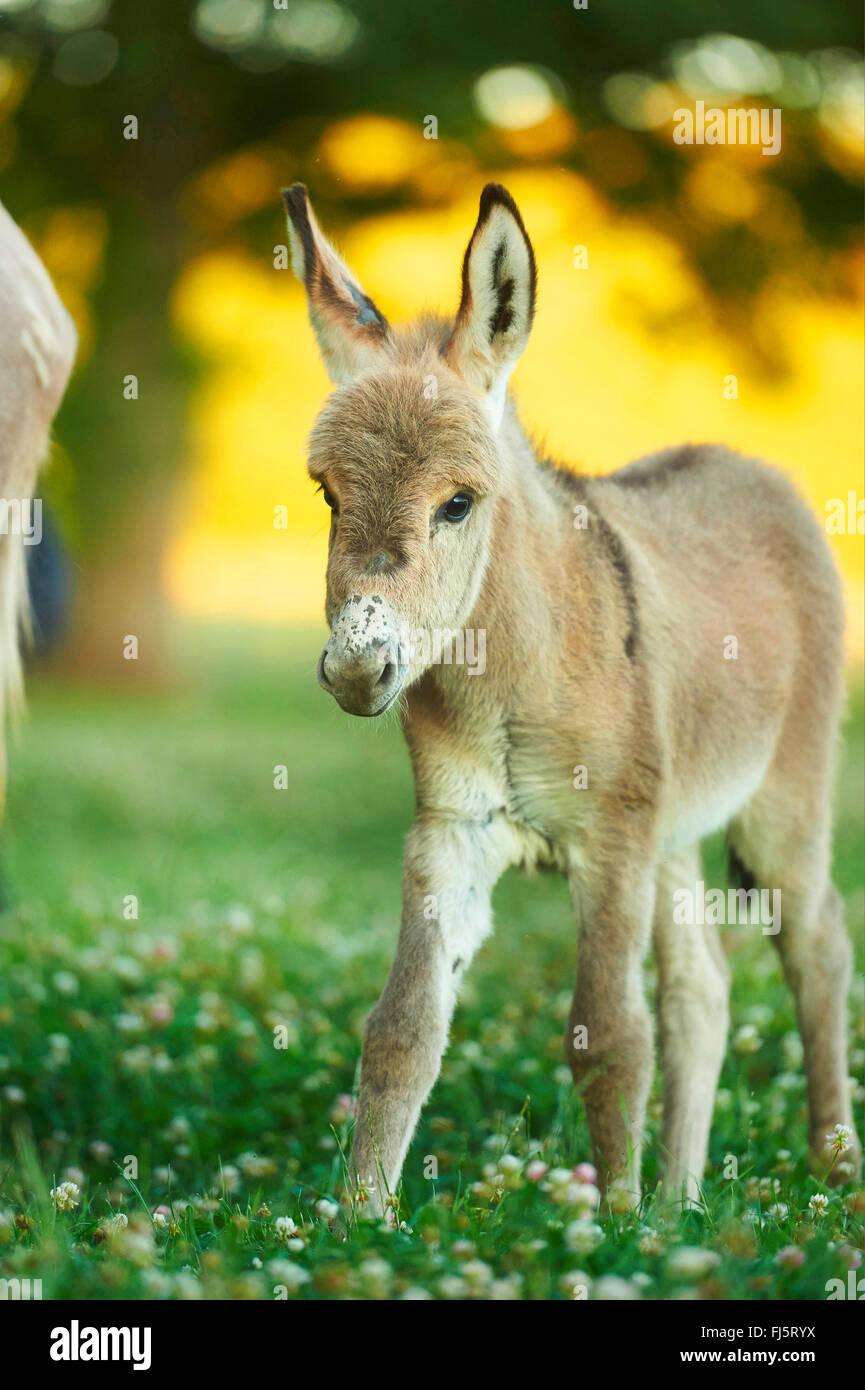 L'âne domestique (Equus asinus asinus), poulain debout dans une prairie en fleurs, Allemagne Banque D'Images