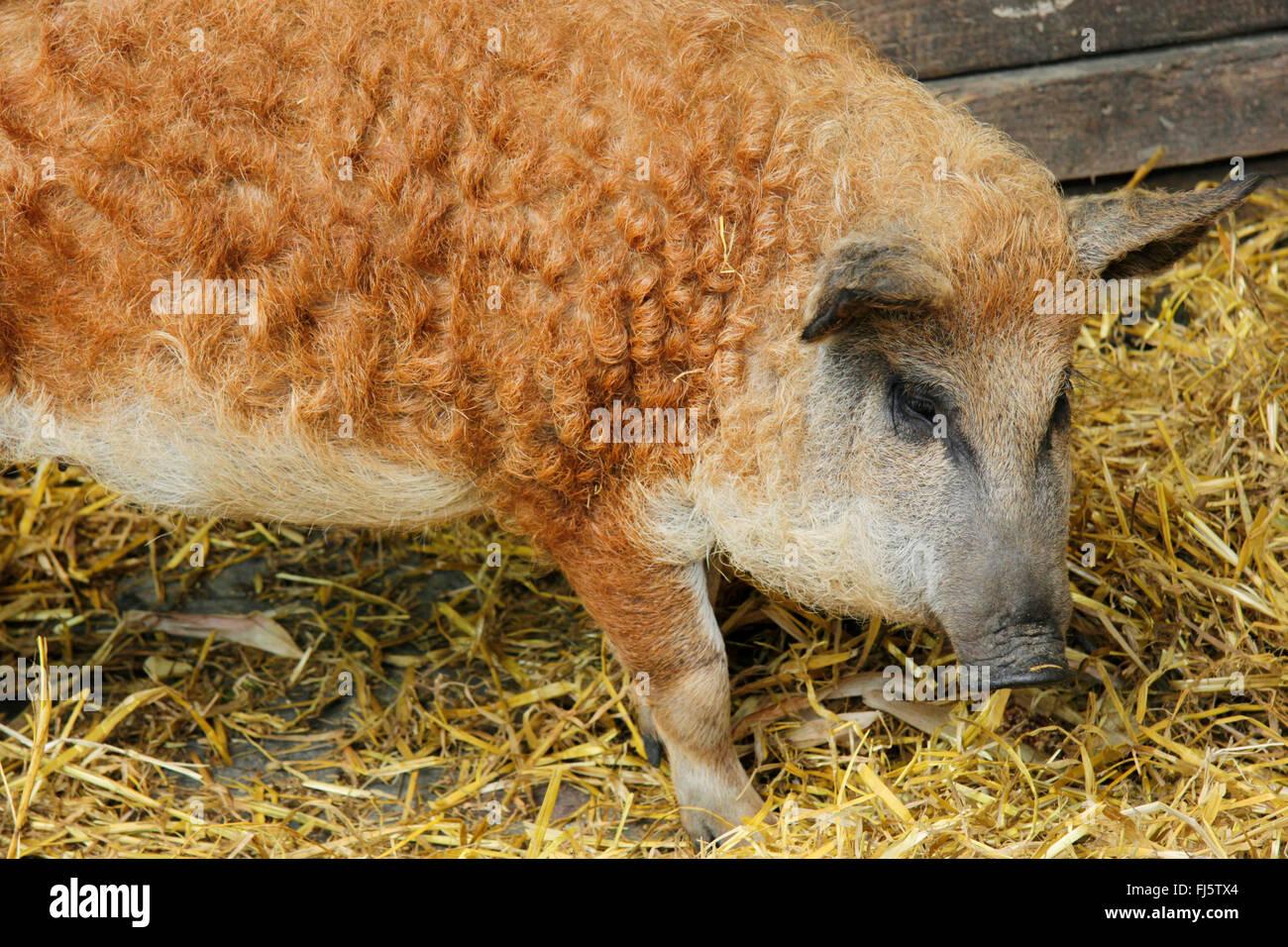 Cochons Laineux mangalitsa, mangalica, mangalitza, cochon laineux (sus scrofa