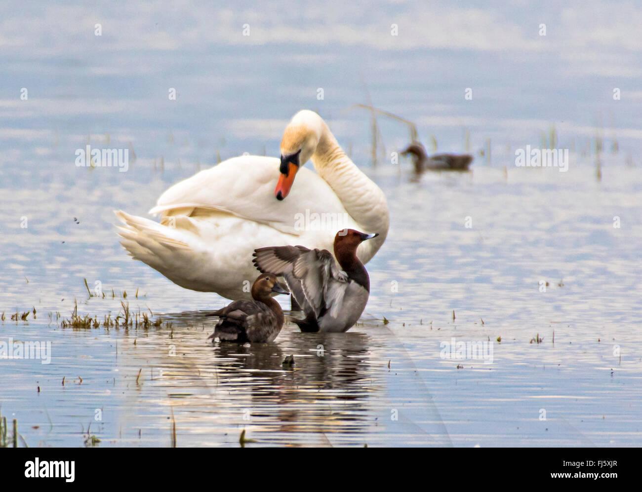 Mute swan (Cygnus olor), Cygne muet et Fuligules paire, Aythya ferina, Autriche, Burgenland Banque D'Images