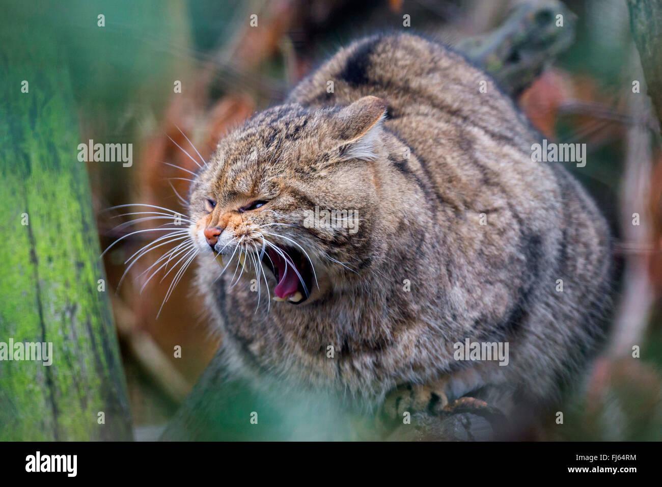 Chat Sauvage Européen, forêt wildcat (Felis silvestris silvestris), est assis sur un arbre le bâillement Photo Stock
