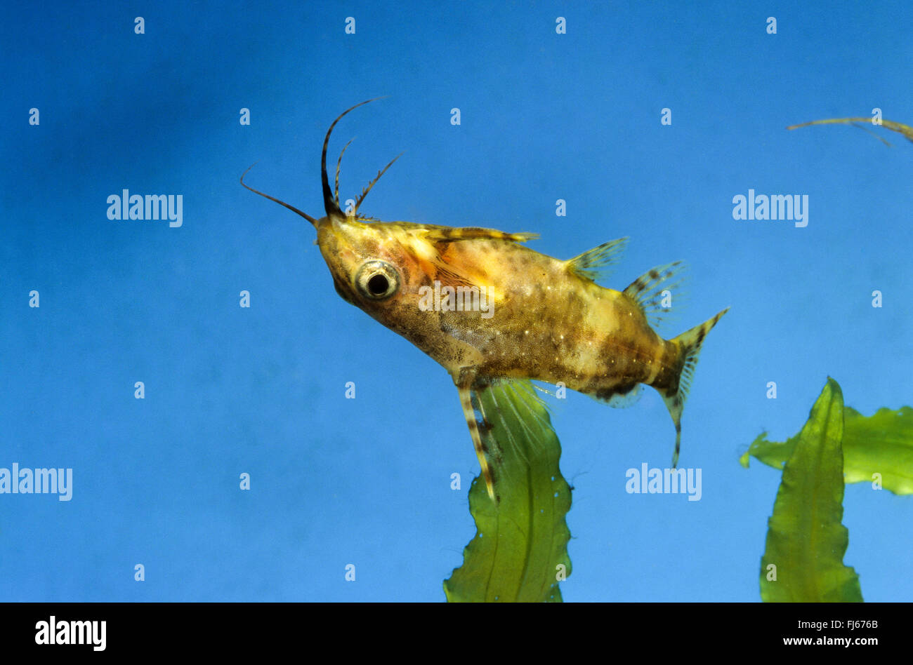 Blackbellied la tête en bas le poisson-chat (Synodontis nigriventris), natation Photo Stock