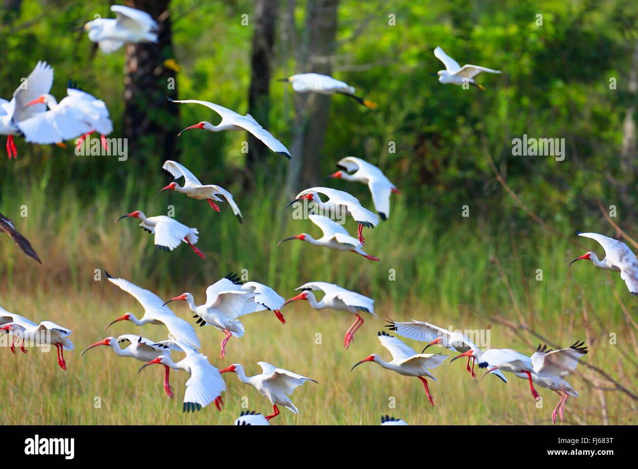 Ibis blanc (Eudocimus albus), troupes de débarquement, USA, Floride, Merritt Island Banque D'Images