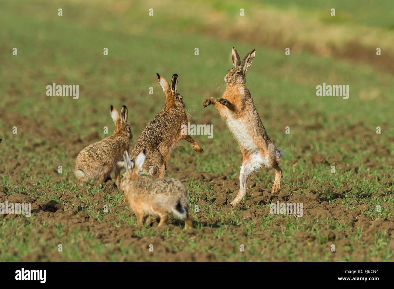 Lièvre européen, lièvre Brun (Lepus europaeus), les hommes en lutte pendant la période de reproduction, l'Autriche, Banque D'Images